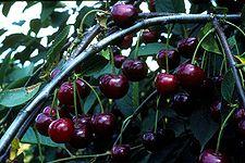 Ginjinha 225px-Morellen_27.07.1979