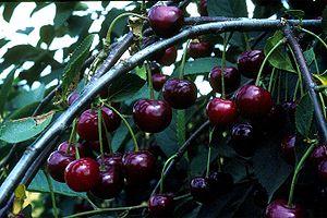Moreller, surkörsbär med mörk saft