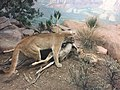 Mountain Lion, Denver Museum of Nature and Science.jpg