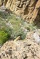 Mountainous lizard in Bolan Pass, Balochistan.jpg
