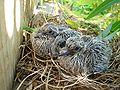 Mourning Dove Chicks 20060701.JPG