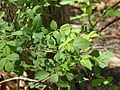 Multiflora Rose Leaves.jpg