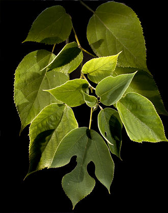 Paper mulberry - Image: Murier
