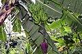 Musa acuminata 6zz.jpg