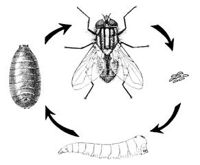 Životný cyklus muchy