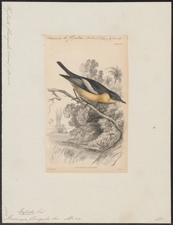 Muscicapa flavigaster - 1838 - Print - Iconographia Zoologica - Special Collections University of Amsterdam - UBA01 IZ16500139.tif