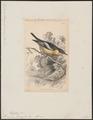 Muscicapa flavigaster - 1838 - Print - Iconographia Zoologica - Special Collections University of Amsterdam - UBA01 IZ16500139.tif