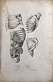 Muscles of the chest and shoulder; four figures. Lithograph Wellcome V0008179ER.jpg