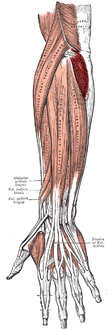 Posterior surface of the forearm. Superficial muscles. (Anconeus visible at center right.)