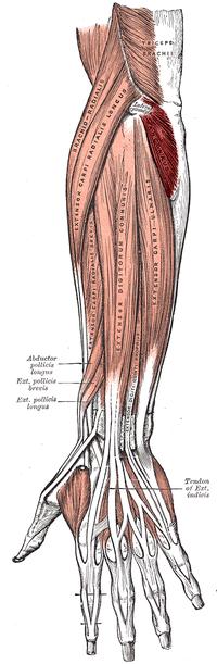 Musculusanconeus2.png