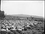 Mustering Sheep (4903843198).jpg