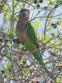 Myiopsitta monachus - Flickr - Dick Culbert.jpg