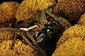 Myredderkopp (Dolomedes fimbriatus) (4938402211).jpg