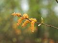 Myrica gale Blüte (1).jpg