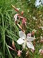 Myrtales - Oenothera lindheimeri - 1.jpg