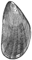 Mytilus edulis illustration