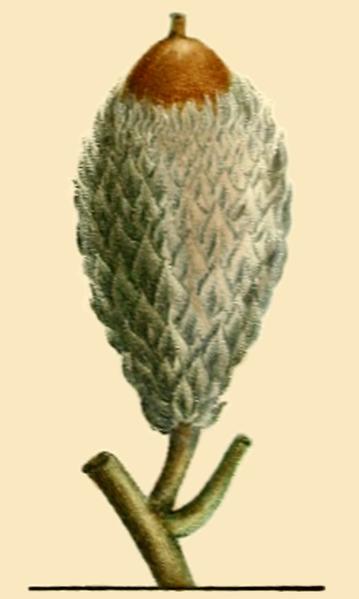 File:NAS-003f Quercus macrocarpa acorn.png