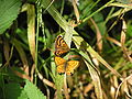 NZ Common copper butterfly, male and female 01.JPG