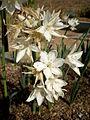 Narcissus broussonetii 2c.JPG