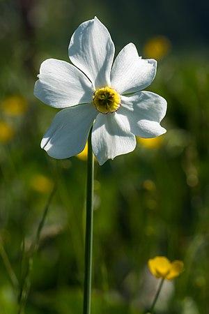 Narcissus poeticus Spechtensee 01.JPG