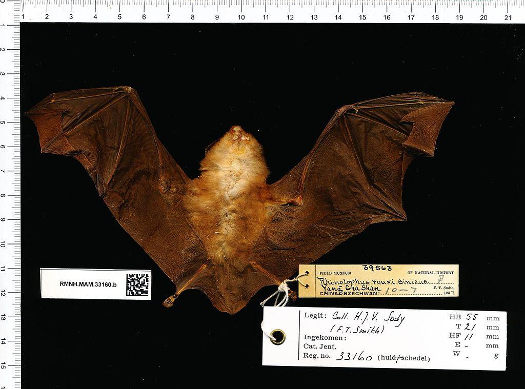 Naturalis Biodiversity Center - RMNH.MAM.33160.b ven - Rhinolophus sinicus - skin.jpeg