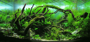 Aquarium with dark pieces of twisted wood bending from the sides of the tank, towards the center. Dense green plants are all around. Just to the left of center is a darkly shadowed region.