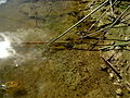 Naturschutzgebiet Lange Dreisch - Osterberg - Triops (3).JPG