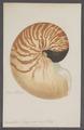 Nautilus pompilius - - Print - Iconographia Zoologica - Special Collections University of Amsterdam - UBAINV0274 091 03 0009.tif