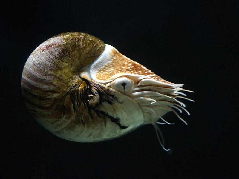 File:Nautilus pompilius 3.jpg