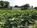 Nelumbo nucifera near site of Kaminohashi Gomon Gate of Fukuoka Castle 3.jpg