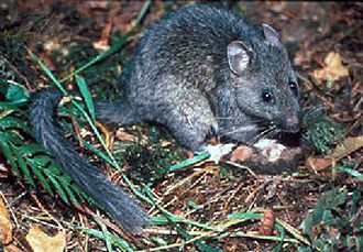 Pack rat - Bushy-tailed woodrat (Neotoma cinerea)