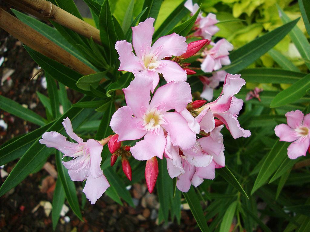 File nerium oleander 2 jpg wikimedia commons - Nerium oleander ...