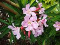 Nerium oleander (2).JPG