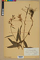Neuchâtel Herbarium - Cephalanthera rubra - NEU000046826.jpg