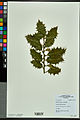 Neuchâtel Herbarium - Ilex aquifolium - NEU000027834.jpg