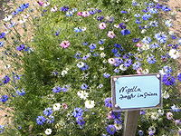 Nigella damascena.jpg