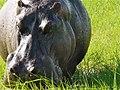 Nijlpaard Closeup langs de Chobe Rivier (6558977655).jpg