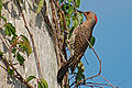 Northern Flicker (Colaptes auratus) B. Walker.jpg