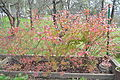 Northern Highbush Blueberry - autumn.jpg