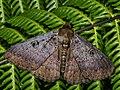 Northern Wattle Moth (7207670386).jpg
