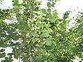 Nyctanthes arbor-tristis-1-nagalur-yercaud-salem-India.JPG