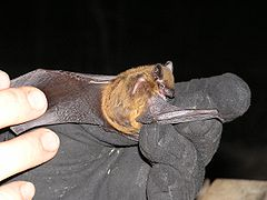 Nycticeius humeralis Evening bat.JPG