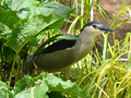 Nycticorax nycticorax 00005.png