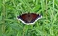Nymphalis antiopa (mourning cloak butterfly) (Wisconsin, USA).jpg