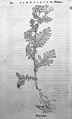 O. Brunfels, Herbarium vivae ei coneb ad nat Wellcome L0032321.jpg