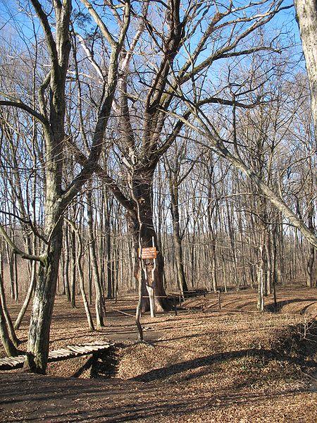 http://upload.wikimedia.org/wikipedia/commons/thumb/7/79/Oak_of_Stephen_the_Great.jpg/450px-Oak_of_Stephen_the_Great.jpg