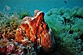Octopus vulgaris polpo comune.jpg