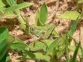 Oedaleus senegalensis L5.jpg