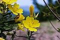 Oenothera fruticosa 6.jpg