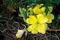 Oenothera laciniata - Flickr - odako1.jpg